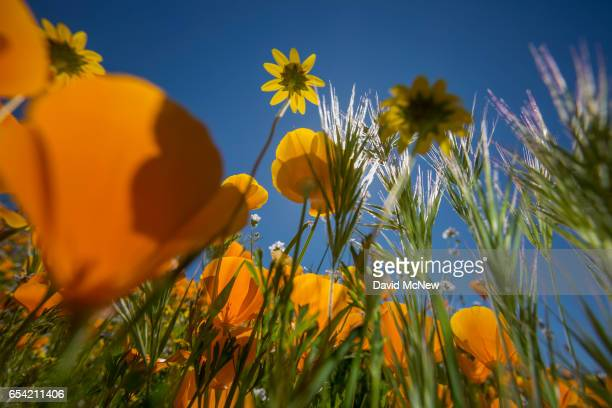 California goldfields are surrounded by California poppies after prolonged record drought gave way to heavy winter rains causing one of the biggest...