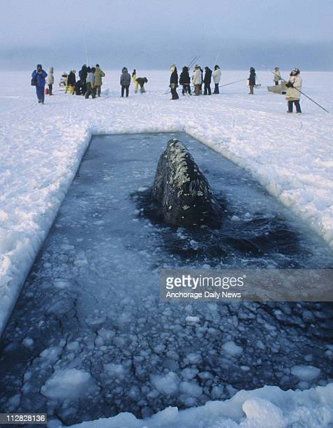 A California gray whale looks towards rescuers cutting another breathing hole into the ice during the 1988 rescue attempt near Point Barrow Alaska
