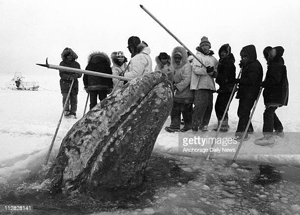 A California gray whale surfaces in a breathing hole near rescuers that were cutting holes into the ice pack off Point Barrow in October 1988