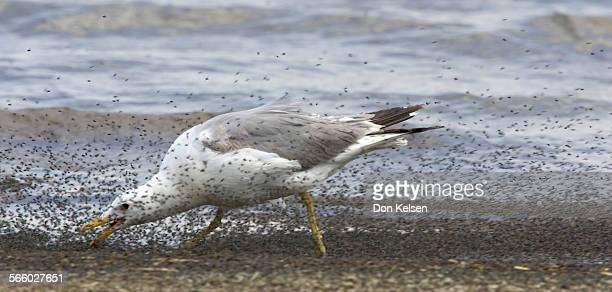 –– California Gull feasting on alkali flies at the west shore of Mono LakePHOTOGRAPHED WEDNESDAY JULY16 2008