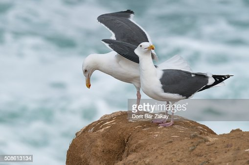 California gull (Larus californicus) : Stock Photo