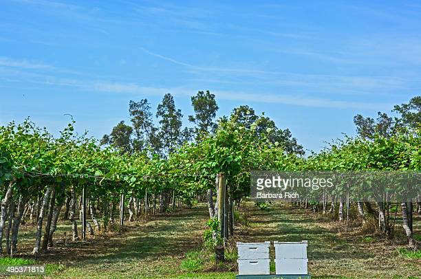 California Kiwi orchard in spring with bee hives