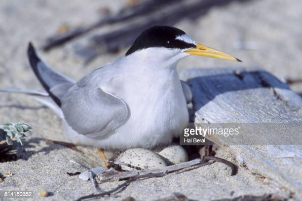 California Least Tern brooding two eggs