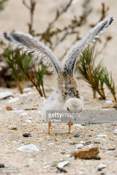 California Least Tern chick trying it's wings