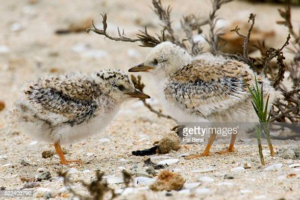 California Least Tern chicks