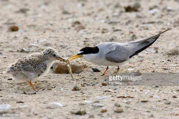 California Least Tern feeding it's chick