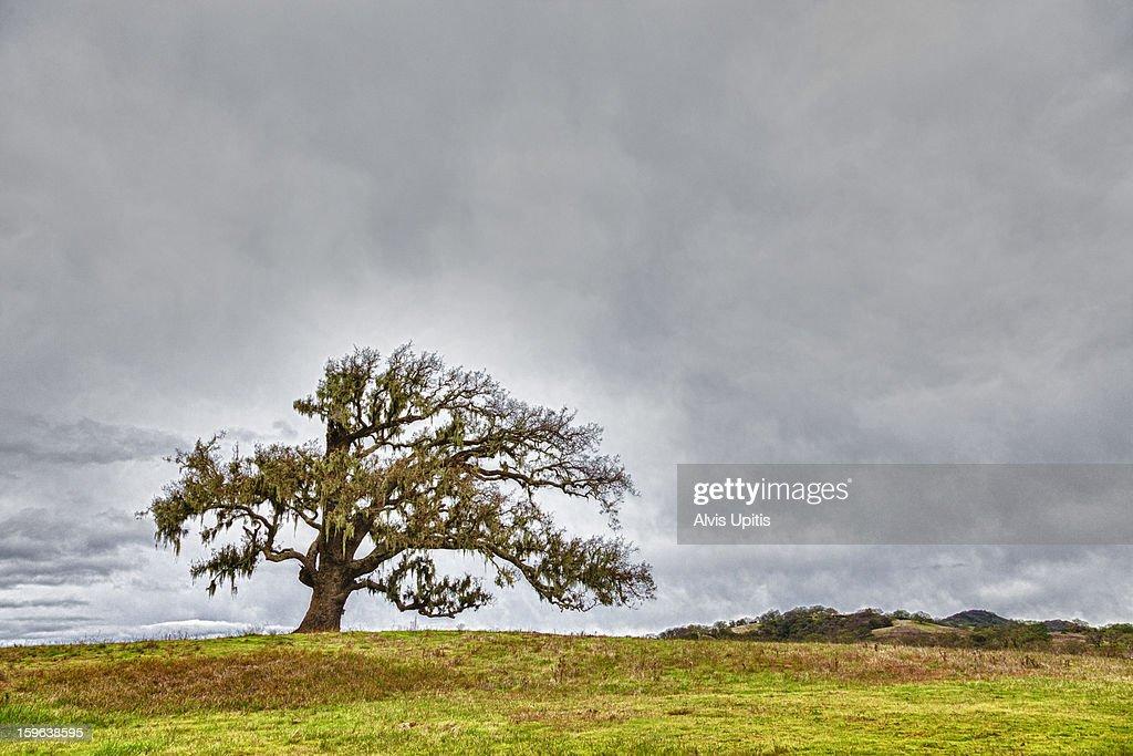 California live oak near Carmel, California : Stock Photo