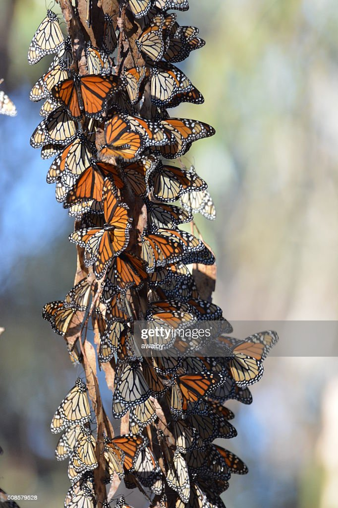 California Monarchfalter Cluster : Stock-Foto
