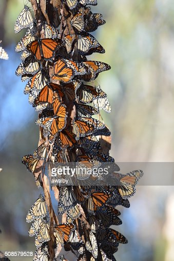 California Monarch Butterfly Cluster : Stock Photo