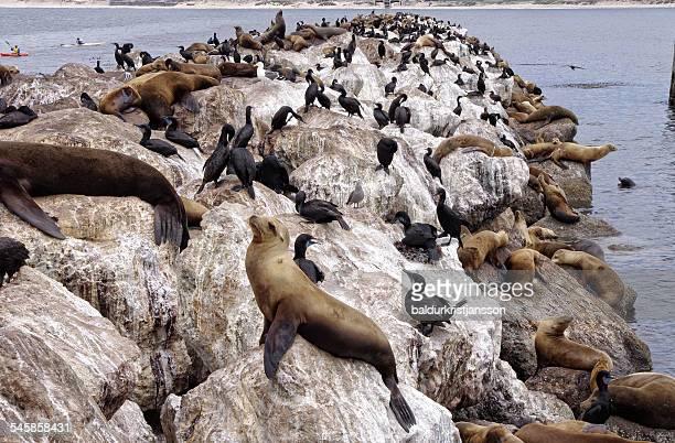 USA, California, Monterey, Sea Lions and birds