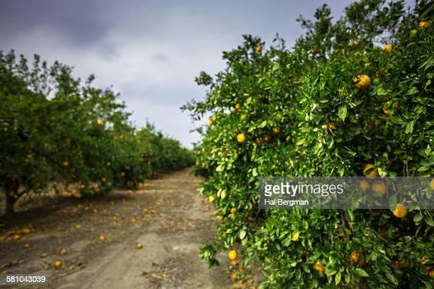 California Orange Grove