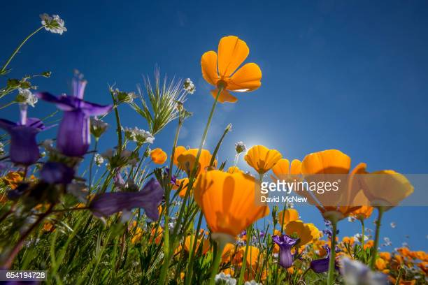 California poppies and Canterbury bells bloom after prolonged record drought gave way to heavy winter rains causing one of the biggest wildflower...