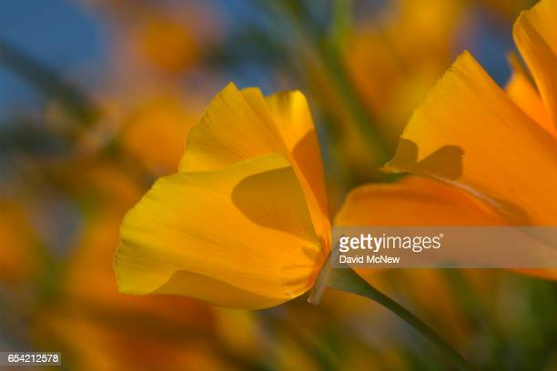 California poppies bloom after prolonged record drought gave way to heavy winter rains causing one of the biggest wildflower blooms in years on March...