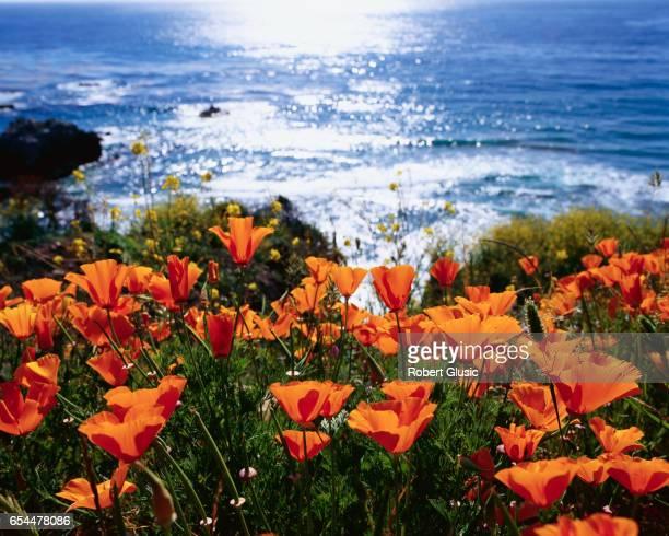 California Poppies Bloom near Ocean