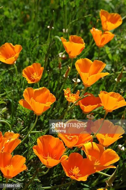 California poppies, Eschscholzia californica