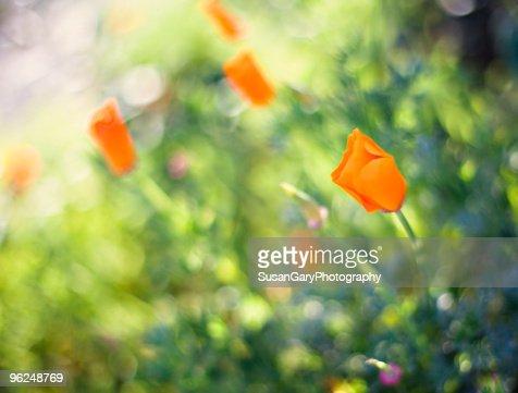 California Poppies in Spring