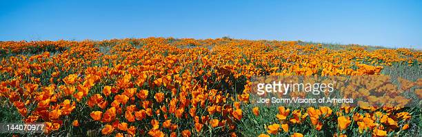 spring wildflowers in antelope - photo #15