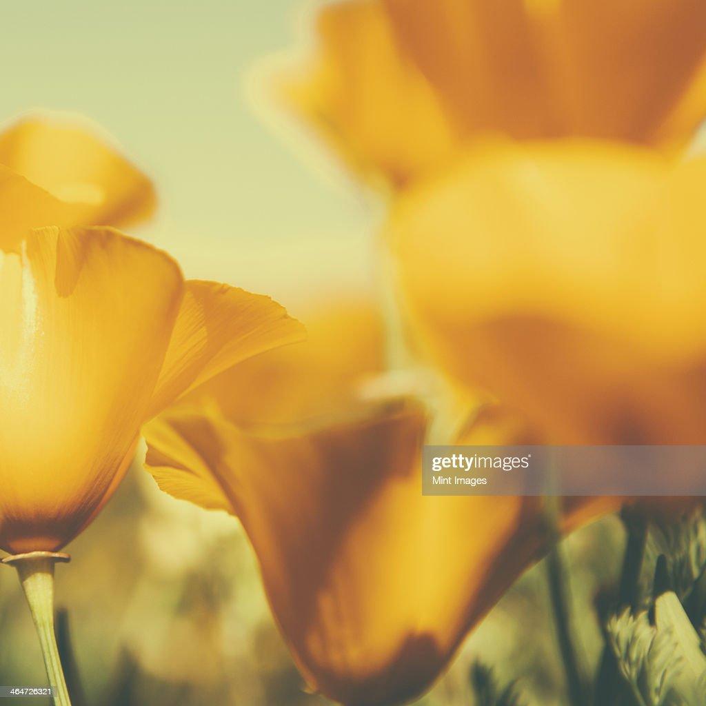 California poppies,Eschscholzia californica,flowering. Bright yellow petals.