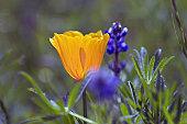 California poppy (Eschscholzia californica) and lupine.