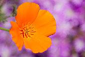 California Poppy (Eschscholzia californica), California, USA