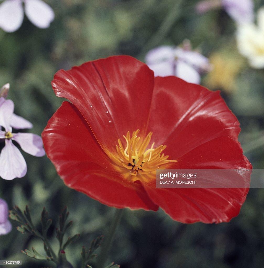 California poppy Golden poppy or California sunlight Papaveraceae