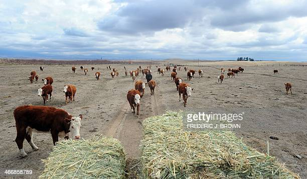 California rancher Nathan Carver drives his truck delivering hay which he now has to buy to feed his herd of beef cattle seen giving chase across the...