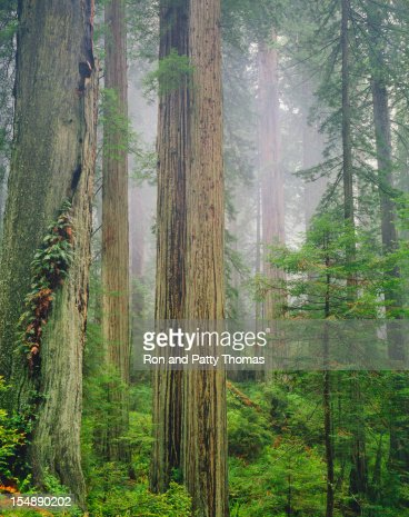 カリフォルニア(Pg)レッドウッド森林