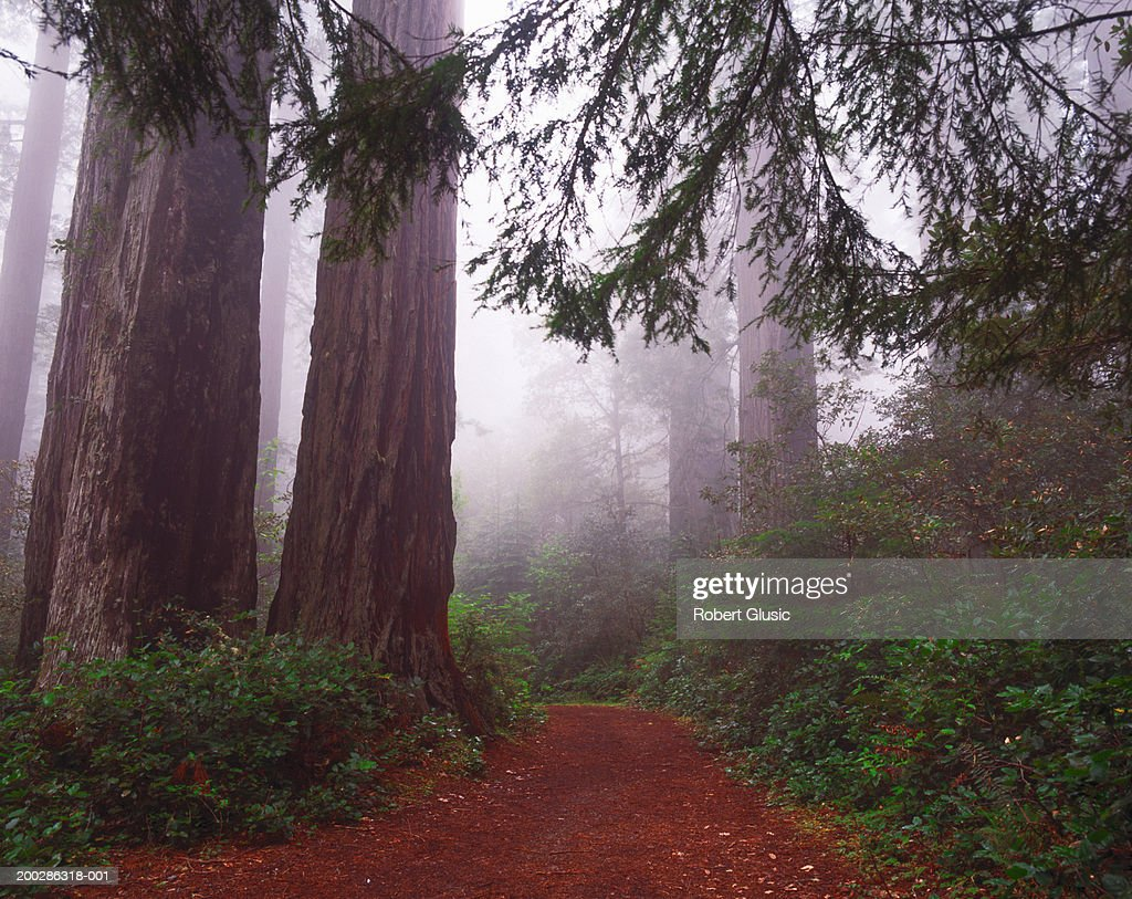 USA, California, Redwood National Park, footpath : Stock Photo