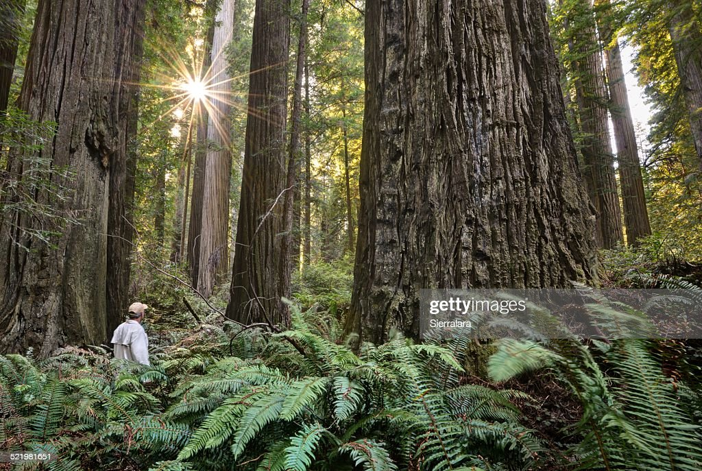 USA, California, Redwood National (and State) Park, Hiker Among Giant Redwood Trees