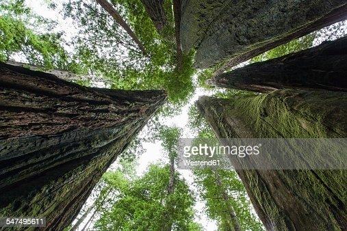 USA, California, Redwood National Park, Sequoia trees