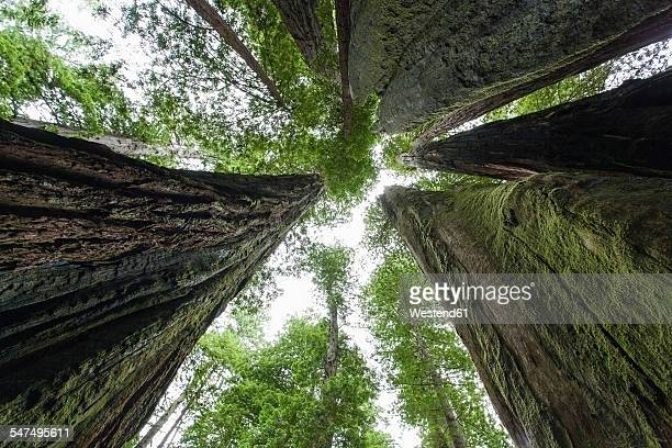 USA, California, Redwood National Park, Sequoia trees