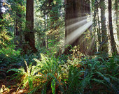 USA, California, Redwood National Park, sun rays in redwood forest
