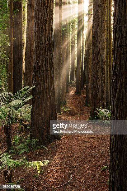 California Redwood Trees