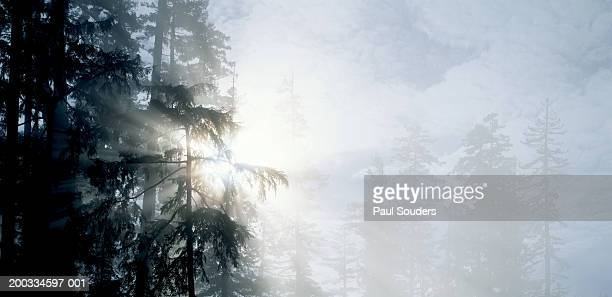 USA, California, Redwoods NP, sunbeams through fog and trees, sunrise