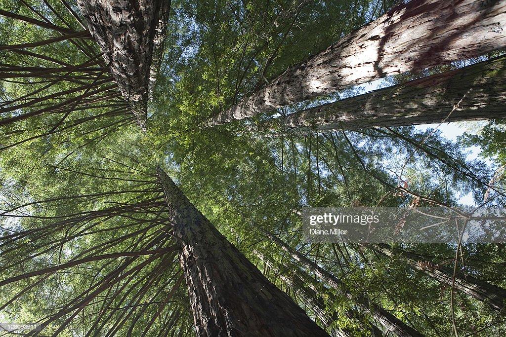 California redwoods : Stock Photo