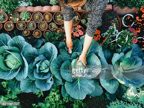 USA, California, Santa Clara County, Woman working in vegetable garden