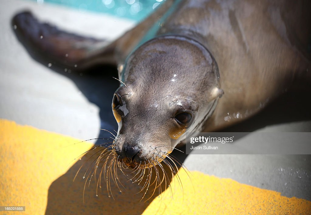 A California sea lion pup sits on the edge of a pool during a feeding at the Marine Mammal Center on April 1, 2013 in Sausalito, California. 30 malnourished and sick California sea lion pups are being cared for and by veterinary staff and volunteers at the Marine Mammal Center after they were transferred from from inundated marine wildlife facilities in Southern California. The National Oceanic and Atmospheric Adminstration estimates that in the first three months of 2013 more than 900 malnourished sea lions have been rescued in the region compared to 100 during the same time period one year ago.