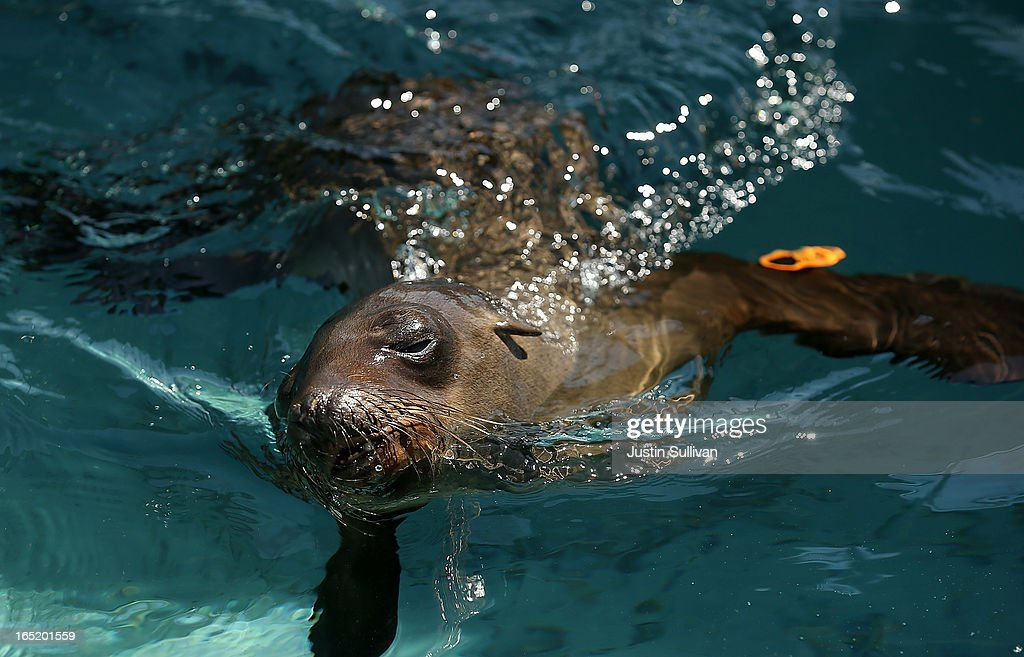 A California sea lion pup swims in a pool during a feeding at the Marine Mammal Center on April 1, 2013 in Sausalito, California. 30 malnourished and sick California sea lion pups are being cared for and by veterinary staff and volunteers at the Marine Mammal Center after they were transferred from from inundated marine wildlife facilities in Southern California. The National Oceanic and Atmospheric Adminstration estimates that in the first three months of 2013 more than 900 malnourished sea lions have been rescued in the region compared to 100 during the same time period one year ago.