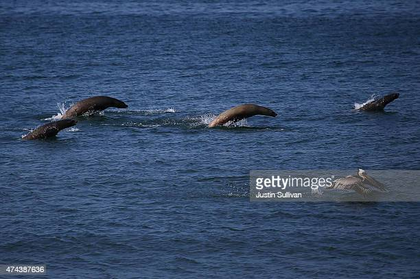 California Sea Lions jump out of the water at Refugio State Beach on May 22 2015 in Goleta California California Gov Jerry Brown declared a State of...