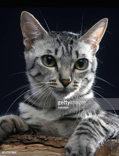 California spangled cat portrait