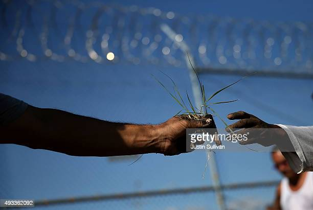 California State PrisonSolano inmate reaches for a plant while installing a droughttolerant garden in the prison yard on October 19 2015 in Vacaville...