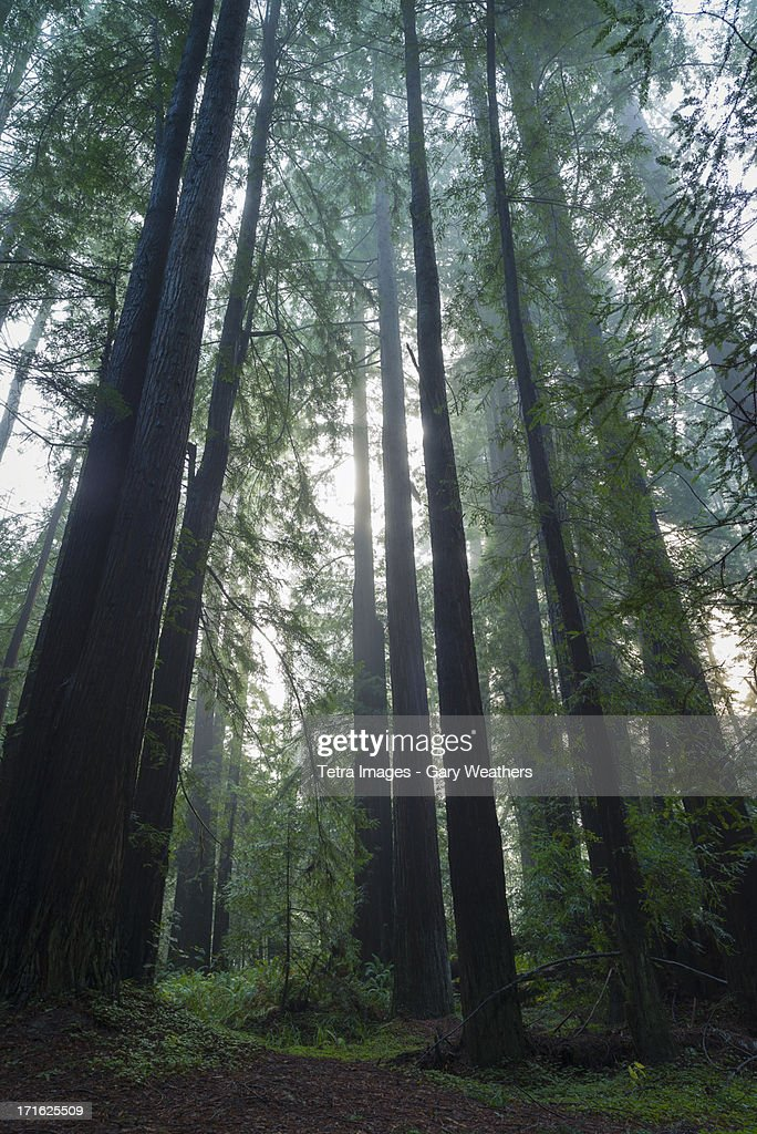 USA, California, Sunlight in forest : Stock Photo