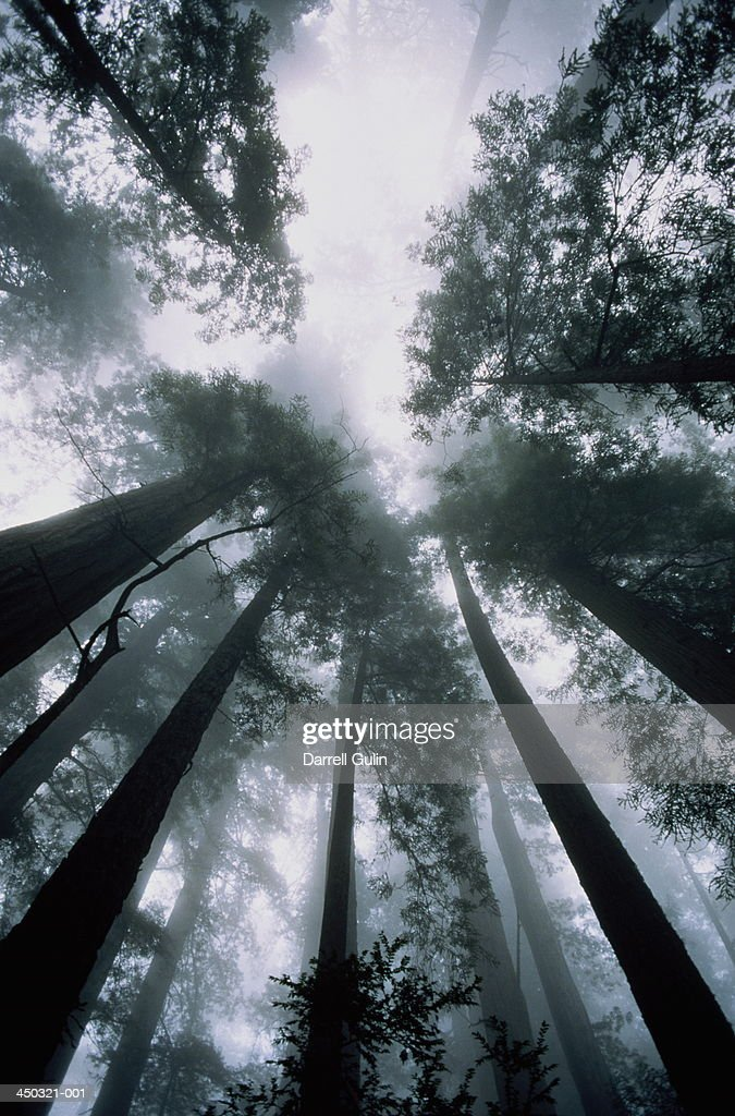 Californian, or coast redwood trees (Sequoia sempervirens), USA : Stock Photo