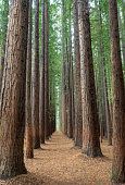 Redwood trees near Warburton, Victoria, Australia