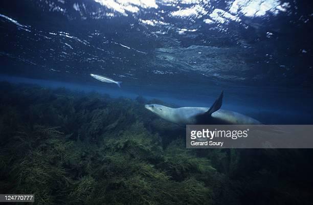 californian sea lion,zalophus californianus, hunting, channel isles, usa