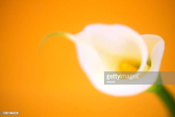 Calla Lilly on Orange Background