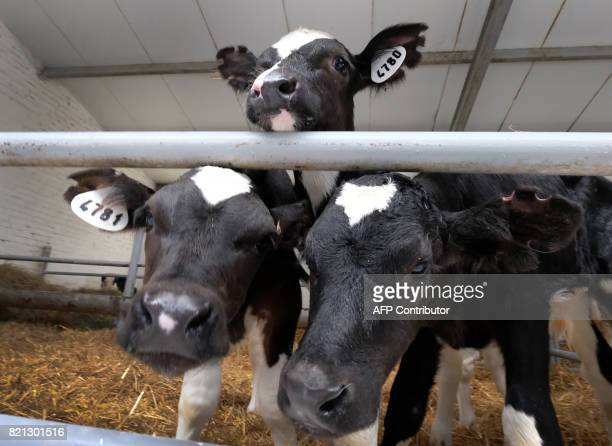 Calves look out of a stabling inside a cowshed at a dairy farm in a village of Vvedenskoye outside Moscow on July 23 2017 / AFP PHOTO / Yuri KADOBNOV