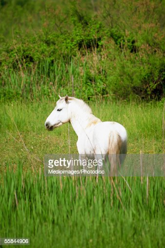 Camargue Horse in the Alpes Cote d'Azur of the Rhone Valley of Provence, France