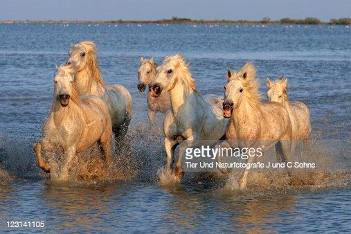 Camargue Horse (Equus caballus)