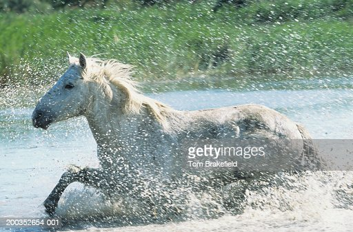 Camargue horse (Equus caballus) running through water, France